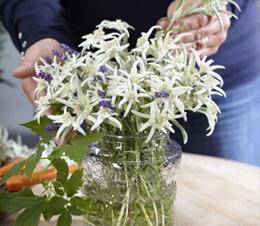Leontopodium alpinum Blossom of Snow